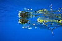 common dolphinfish, mahi mahi, or dorado, Coryphaena hippurus, school in open ocean, off Kaiwi Point, Kona Coast, Big Island, Hawaii, USA, Pacific Ocean