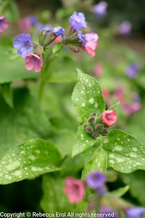 Pulmonaria officinalis or Lungwort