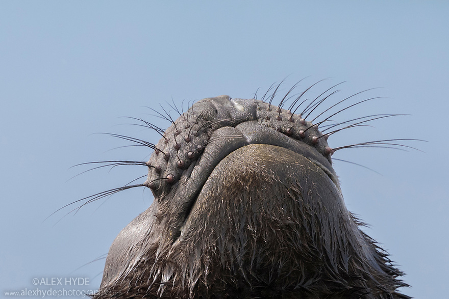 Whiskers of Southern Elephant Seal pup (Mirounga leonina) Jason Harbour, South Georgia. November.
