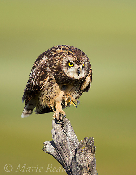 Short-eared Owl (Asio flammeus), adult female flexing talons while perched on fencepost, northern Utah, USA