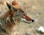 Coyote, Canis latrans, prairie wolf, North America, barking dog, coyotl, Animal, wild animals, domestic animals,  Fine Art Photography, Ronald T. Bennett (c) Fine Art Photography by Ron Bennett, Fine Art, Fine Art photography, Art Photography, Copyright RonBennettPhotography.com ©