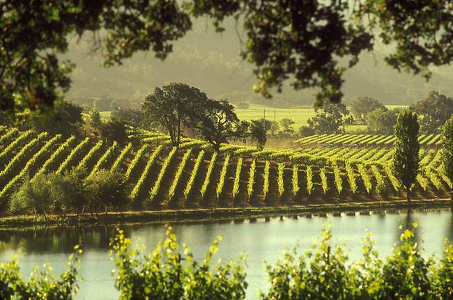 View of vineyards of Quintessa winery