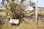 Sheep standing on dry stone wall, Exmoor national park, Devon, England