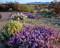 Vervain, Primrose, and Wooly Marigolds in bloom on the Pinta Sands; Cabeza Prieta National Wildlife Refuge, AZ
