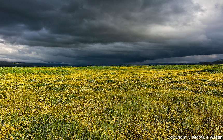 Carrizo Plain National Monument, CA: Dark storm clouds over a field of yellow flowering goldfields (Lasthenia glaberrima)