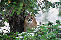Young Mountain Lion (Felis concolor) up in doug fir tree.  Western U.S., early winter.