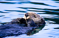 Sea Otter, Monterey, California.