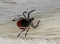 "1022-07zz  Deer Tick - Ixodes scapularis ""on white dog hair looking for a blood meal"" © David Kuhn/Dwight Kuhn Photography"