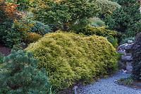 Chamaecyparis pisifera 'Golden Mops', golden yellow foliage specimen tree; Albers Vista Gardens