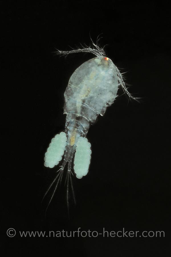 Hüpferling, Megacyclops viridis, Cyclops viridis, Copepoda, Copepode, Copepoden, copepods, Hüpferlinge