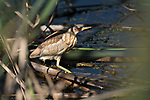 Little Bittern, Ixobrychus minutus, Ria Formosa West, Quinta Do Lago Golf Course, Algarve, Portugal, wading in reeds at waters edge