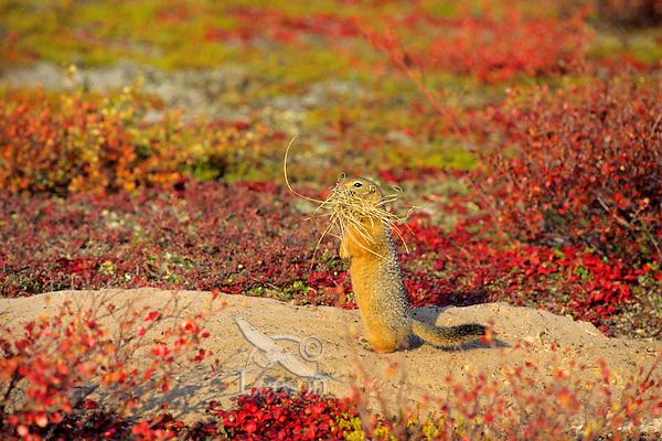 Arctic ground squirrel (Urocitellus parryii) or Sik-Sik
