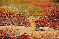 Arctic ground squirrel (Urocitellus parryii) or Sik-Sik