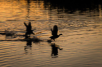 With wings spread and water splashing, one American coot chases another across the sunset lit Duck Pond neighborhood park.