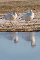 Snow geese (Chen caerulescens) resting reflecting in pond at Sacramento National Wildlife Refuge.  Feb.