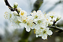 Blossom of Plum 'Utility', mid March. A large red mid-season dessert plum, originally from Bedfordshire, 1903.