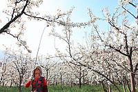 Hanyuan, Sichuan. Chaque année, la saison de la floraison des poiriers est attendu à Hanyuan car les revenus de ces fermiers-arboriculteurs dépendent en grande partie de la bonne pollinisation des fleurs de poiriers. ///Hanyuan, Sichuan. Each year, the blossoming of the pear trees is much anticipated in Hanyuan because the income for the fruit farmers depends for a great part on a good pollination of the pear blossoms.