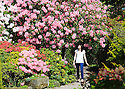 02/05/14<br /> <br /> Becky Emery, 21, soaks up the sunshine surrounded by walls of rhododendrons and azaleas at Lea Gardens, near Matlock, Derbyshire. Owner Pete Tye said: &quot;It's one of the most colourful years I can remember we haven't had many frosts this year so lots of the early blooms are still out too. The whole season is five weeks earlier than last year. Although we do have a frost forecast tonight. Fingers crossed it won't get too cold and cause too much damage for the bank holiday weekend&quot;<br />  <br /> All Rights Reserved - F Stop Press.  www.fstoppress.com. Tel: +44 (0)1335 300098