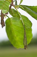 Blattroller, Trichterwickler, vom Käfer aufgewickeltes Blatt einer Erle, Leaf-roller, leaf roller, Leaf-rollers, leaf rollers