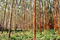 """Floresta de Eucalipto,  gÍnero de arbustos ou ·rvores de grande porte, da famÌlia das mirt·ceas, usado  para plantio de extensas ·reas de espÈcie para posterior produÁ""""o de de papel e celulose  (grupo Orsa).<br /> A f·brica da JarÌ em local prÛximo,  onde È beneficiada a madeira, foi construÌda em cima de uma balsa e trazida por empurradores do Jap""""o no final da dÈcada de 70 e instalada as margens do rio JarÌ, fronteira do Par· com o Amap·.<br /> Almeirim, Par·, Brasil.<br /> Foto Paulo Santos/Interfoto<br /> 03/2005."""
