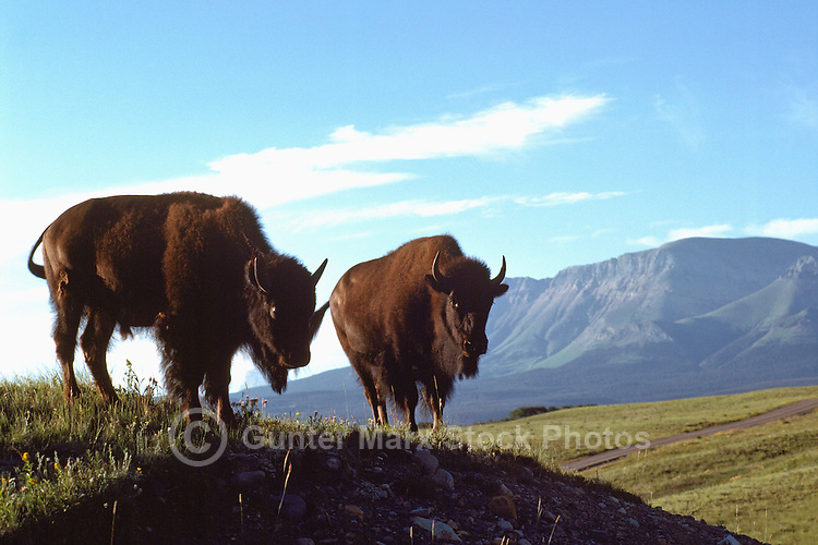 Buffalo aka American Bison (Bison bison) roaming in Paddock, Waterton Lakes National Park, Canadian Rockies, Alberta, Canada