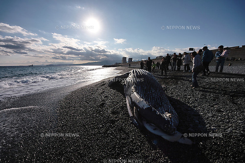January 3, 2012, Kanagawa, Japan - A humpback whale is seen stranded on a beach at Odawara, Kanagawa prefecture west of Tokyo on Tuesday, January 3, 2012. The humpback whale was discovered on January 2 morning. (Photo by Koichi Mitsui/AFLO)