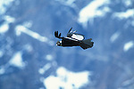Adult male Andean Condor soaring, Torres del Paine National Park,Chile