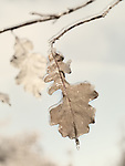 Ice covered frozen oak leaves abstract nature closeup