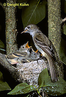 FC01-003x  Least Flycatcher - adult feeding young on lilac tree - Empidonax minimus