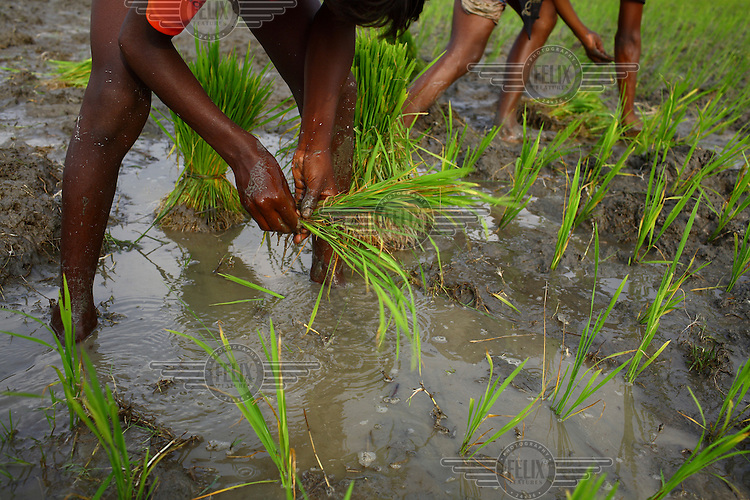 Farmers planting a local variety of rice called amon.