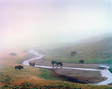 USA, Wyoming, bison grazing in Hayden Valley in the fog, Yellowstone National Park