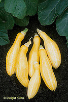 HS36-044x  Summer Squash - yellow