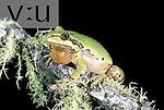 Mountain Tree Frog (Hyla eximia), adult male calling, Lake Sierra Blanca, Greer, Arizona.