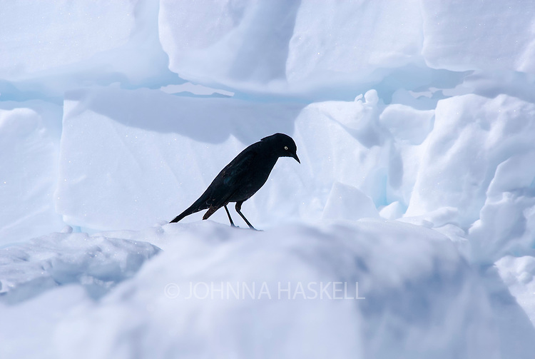 Some birds get lost in storms on Mt Mckinley in Alaska as seen with this blackbird perched on our snowblocks on the Telketna glacier. Wildlife is a rare sight up on the mountain reminding us of this harsh environment.