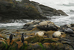 harbor seals and cormorants at Bean Hollow State Beach