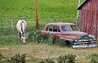 A horse grazing next to a junked Plymouth near Durango, Colorado.