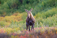 Cow moose in the autumn tundra, Denali National Park