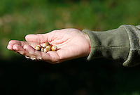 NWA Democrat-Gazette/DAVID GOTTSCHALK  The hand of Kathryn Scherer, of Fayetteville, is visible holding acorns produced from a more than 150 year old White Oak Tree Monday, October 26, 2015, that she has been watering on south Armstrong Avenue in Fayetteville. Scherer is seeking donations towards watering and caring for the tree.