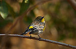 Audubon's Warbler Yellow-rumped Warbler Dendroica coronata auduboni Southern California