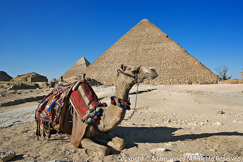 "Camel in front of Cheops, ""The Great Pyramid"" and distant Khafre or Chephren."