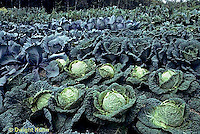 HS37-013b  Cabbage - variety in field - Savoy variety in first row