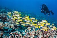 scuba diver and schooling bluestripe snapper, Lutjanus kasmira, Lanai, Hawaii, USA, Pacific Ocean, MR