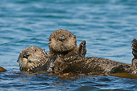 Southern Sea Otter (Enhydra lutris nereis) mother carrying pup.  Central California Coast.
