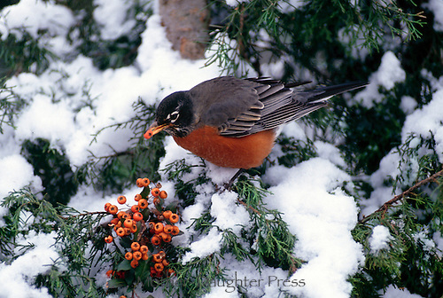 Robin, Turdus migratorius, perches on branch of evergreen reaching to berries of pyracantha in winter snow, Midwest USA
