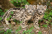 Pair of Snow Leopard kittens standing by some rocks