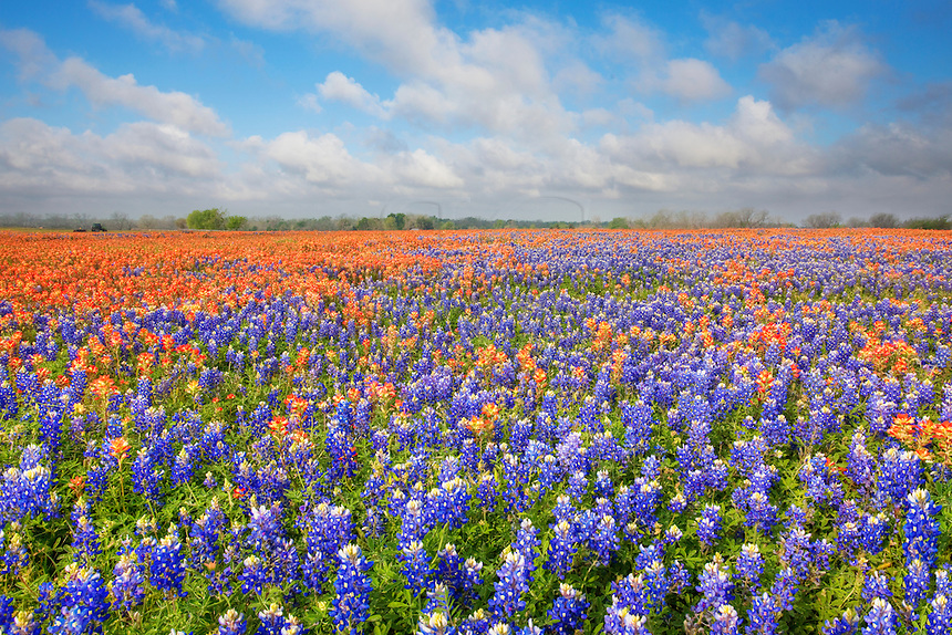 Near Whitehall, Texas, on a spring morning in April, this field of bluebonnets and Indian paintbrush seemed to glow with color under an awakening blue sky. Bees buzzed around my legs in search of nectar, and I just tried to stay out of their way.