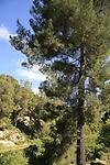 Israel, Upper Galilee, Pine trees by Road 866
