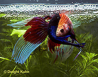 BY05-200z  Siamese Fighting Fish - male mating with egg laden female - Betta splendens