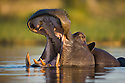 Hippopotamus (Hippopotamus amphibius) in water, yawning, Okavango Delta, Moremi Game Reserve, Botswana