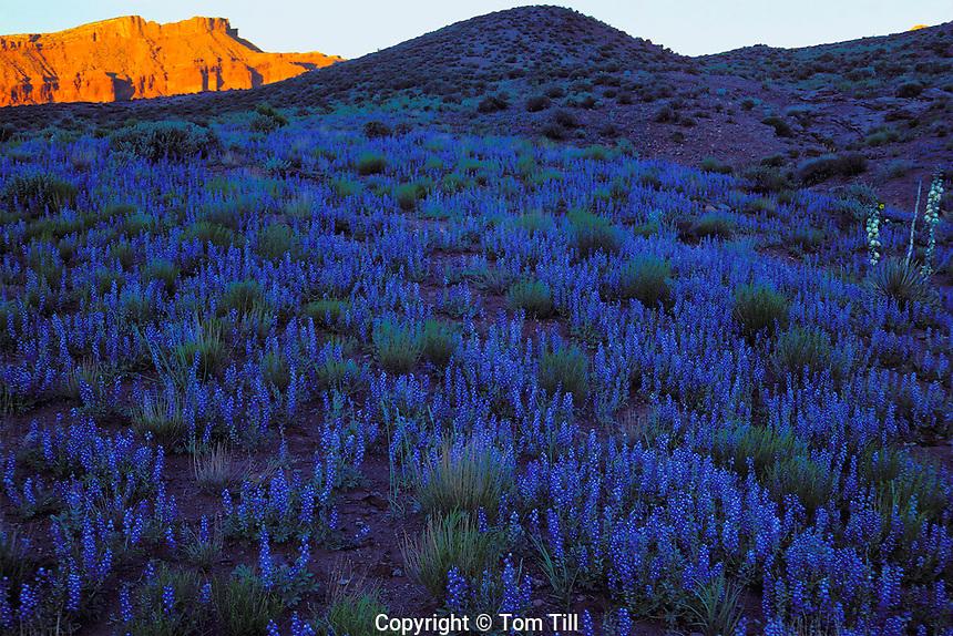 Lupine Field in Spring, Fisher Towers, Proposed La Sal Waters Wilderness, Utah   Lupinus sp.
